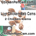 125x125 Chickens